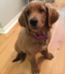 Goldendoodle Puppy For Sale in PALM HARBOR, FL, USA