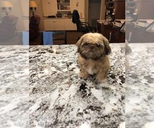 Shih Tzu Puppy for sale in CONROE, TX, USA