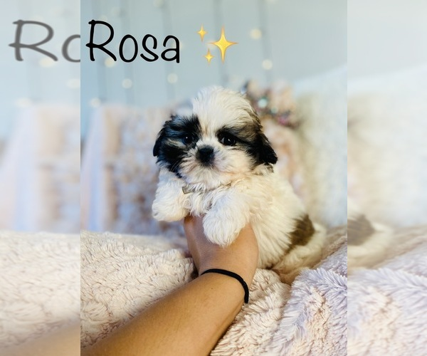 Medium Photo #7 Shih Tzu Puppy For Sale in COOKEVILLE, TN, USA