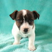 Jack Russell Terrier Puppy For Sale in GAP, PA, USA