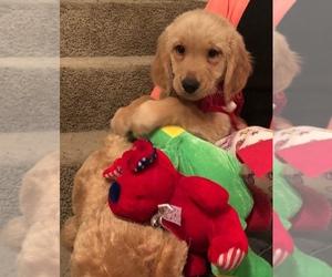 Golden Retriever Dog for Adoption in MISSOURI CITY, Texas USA