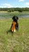Labrador Retriever Puppy For Sale in SNOW CAMP, NC