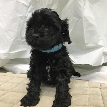 Cock-A-Poo puppy