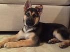 German Shepherd Dog Puppy For Sale in POMONA PARK, FL, USA