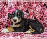 Small #1 Greater Swiss Mountain Dog