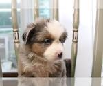Small Photo #15 Australian Shepherd Puppy For Sale in STAFFORD, VA, USA