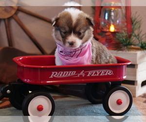 Pembroke Welsh Corgi Puppy for Sale in SPRINGFIELD, Missouri USA