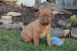 Small Dogue de Bordeaux