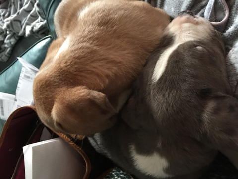 View Ad: Saint Dane Litter of Puppies for Sale near