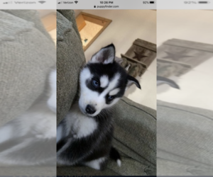 Siberian Husky Puppy for Sale in RINGTOWN, Pennsylvania USA