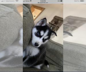 Siberian Husky Puppy for Sale in RINGTOWN, Pennsylvania USA