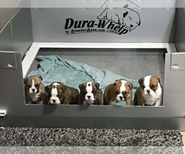 Medium Photo #1 Bulldog Puppy For Sale in OAK RIDGE N, TX, USA