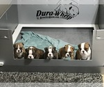 Small Photo #1 Bulldog Puppy For Sale in OAK RIDGE N, TX, USA