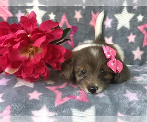Dachshund-Unknown Mix Puppy for sale in LAKELAND, FL, USA