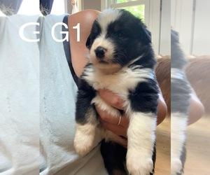 Border-Aussie Dog for Adoption in MOUNT WASHINGTON, Kentucky USA