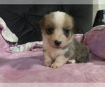 Image preview for Ad Listing. Nickname: Daisy AKC
