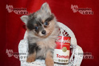 Pomeranian Puppy For Sale in SANGER, TX, USA