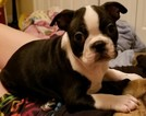 Boston Terrier Puppy For Sale in NAVARRE, FL, USA