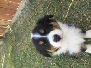 Australian Shepherd Puppy For Sale in BAKERSFIELD, CA, USA