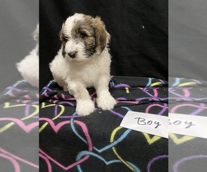 Sheepadoodle Puppy for Sale in WASHINGTON, Iowa USA
