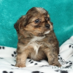 Shorkie Tzu Puppy For Sale in GAP, PA