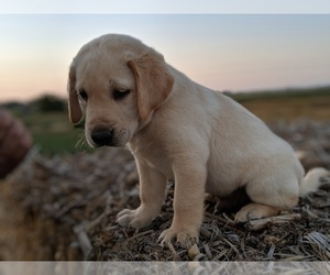 Labrador Retriever Puppy for Sale in EATON, Colorado USA