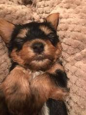 Yorkshire Terrier Puppy For Sale in SATSUMA, AL, USA