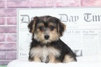 Yo-Chon Puppy For Sale in BEL AIR, MD, USA