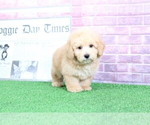 Poodle (Toy) Puppy for sale in BEL AIR, MD, USA