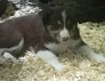 Border Collie Puppy For Sale in EAST HADDAM, Connecticut,