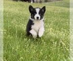 Small #16 Australian Shepherd