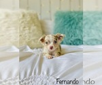 Small Photo #7 Chihuahua Puppy For Sale in COOKEVILLE, TN, USA