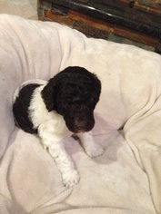 Poodle (Standard) Puppy For Sale in SAINT PAUL, MN