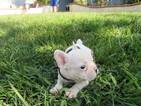 French Bulldog Puppy For Sale in RIVERSIDE, CA