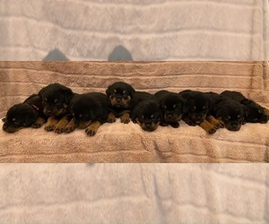 Rottweiler Puppy for sale in NAPA, CA, USA