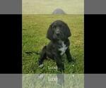 Small #12 Labrador Retriever-Majestic Tree Hound Mix