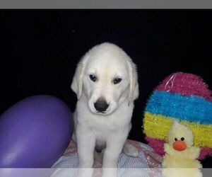 Golden Retriever Puppy for sale in SAINT PETERSBURG, FL, USA