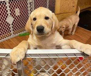 Labrador Retriever Puppy for sale in KENOSHA, WI, USA