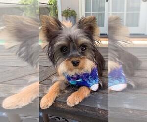 Morkie Puppy for sale in SACRAMENTO, CA, USA