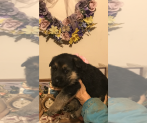 German Shepherd Dog Puppy for sale in S BRUNSWICK, NC, USA
