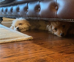 Pomeranian-Poodle (Toy) Mix Puppy for Sale in DENVER, Colorado USA