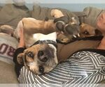 Small Beagle-Catahoula Leopard Dog Mix
