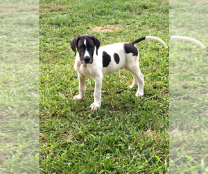 Great Dane Puppy for Sale in MONROE, Georgia USA