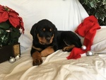 Rottweiler Puppy For Sale in MOHNTON, PA,