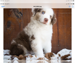 Small #1 Miniature American Shepherd