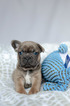 French Bulldog Puppy Zeus