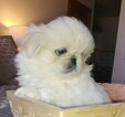 Pekingese Puppy For Sale in ANACORTES, WA, USA