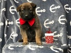 Malinois Puppy For Sale in CEDAR LANE, PA, USA