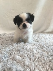 Zuchon Puppy For Sale in HAMPSHIRE, IL