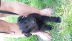 German Shepherd Dog Puppy For Sale in BROOKFIELD, MO